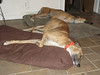 Twin Fawns a slumbering.   